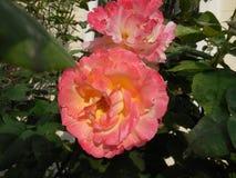 Rosa- und Gelbrose lizenzfreie stockbilder
