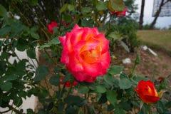 Rosa und Gelbrose und -niederlassungen stockbilder