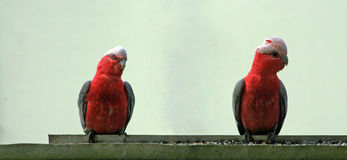 Rosa und Gray Gala/Galah-Papageien in Drouin Victoria Australia Stockbild