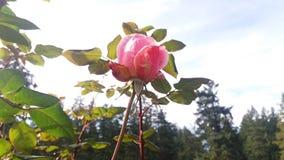 Rosa und Himmel Stockbilder