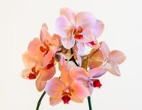 Rosa und Koralle bauten die Orchidee an, die auf schwarzem Hintergrund - perfekte Grußkarte lokalisiert wurde Lizenzfreies Stockbild