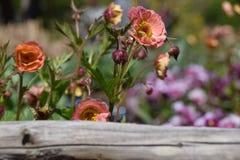 Rosa und orange Blumen nahe einem Zaun Stockfoto