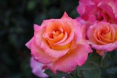 Rosa und orange Rosen lizenzfreie stockbilder
