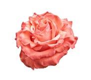 Rosa und Orange stiegen auf Weiß stockfoto