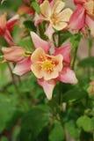 Rosa und Pfirsich Columbine in einem sonnigen Garten Lizenzfreie Stockfotos