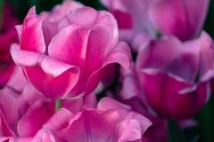 Rosa und purpurrote Tulpen, die in Frederick Meijer Gardens in Grand Rapids Michigan blühen lizenzfreie stockfotografie