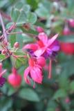 Rosa und purpurrotes fuschia Stockfotografie