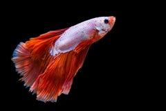 Rosa und rote betta Fische stockbilder
