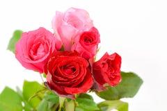 Rosa und rote Rosen lokalisiert Lizenzfreies Stockfoto