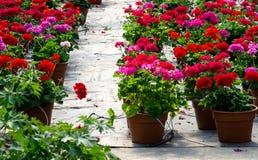 Rosa und rote Topfpflanzen Stockfotografie