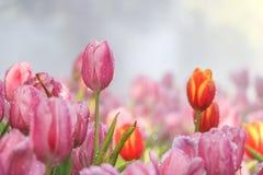 Rosa und rote Tulpe blüht im Morgennebel (Weichzeichnung) Stockfotografie