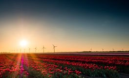 Rosa und rote Tulpen auf dem Gebiet bei Sonnenaufgang Lizenzfreie Stockfotografie