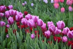 Rosa und rote Tulpen im Garten Stockfotografie