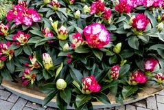 Rosa und roter Rhododendron Lizenzfreie Stockfotografie