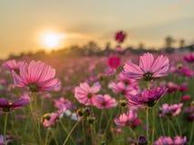 Rosa und roter Sonnenaufgang des Kosmosblumenfeldes morgens Weiches foc Lizenzfreie Stockbilder