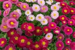Rosa und rotes englisches Gänseblümchen blühen Parktageslicht im im Freien Stockbild