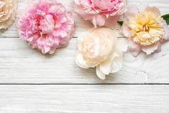 Rosa und sahnige Pfingstrose blüht auf weißem hölzernem Hintergrund Flache Lage Draufsicht mit Kopienraum Stockfotos