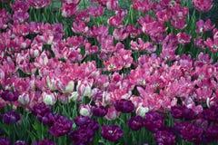 Rosa und violette Tulpen im Garten Lizenzfreies Stockfoto