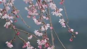 Rosa und weiße Blüten, die in den Wind auf einem weinenden Kirschbaum in Japan während Frühlinges 2016 tanzen stock footage