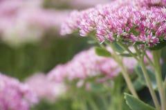 Rosa und weiße Blume im Garten Lizenzfreie Stockfotografie