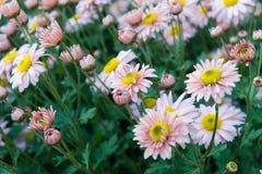 Rosa und weiße Chrysanthemen Stockbilder