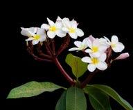 Rosa und weiße Frangipaniblumen Stockfoto