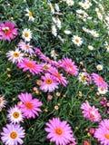 Rosa und weiße Gänseblümchen Stockbild