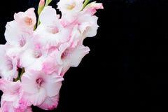 Rosa und weiße Gladioli auf einem schwarzen Hintergrund Stockfotografie