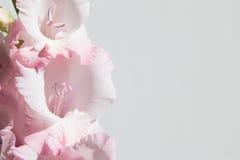 Rosa und weiße Gladioli auf einem weißen Hintergrund Stockbilder