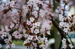 Rosa und weiße Kirschblüten Stockfotos