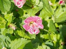Rosa und weiße Orchideenblüte bis Weichzeichnung Stockbild