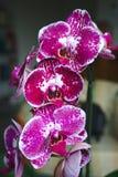 Rosa und weiße Orchideenniederlassung stockfotografie