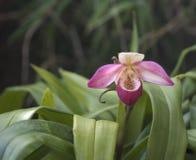 Rosa und weiße Pantoffel-Orchidee Stockbilder