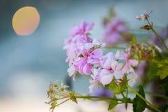 Rosa und weiße Pelargonie stockfotografie