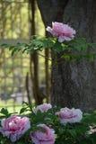 Rosa und weiße Pfingstrosen in einem Garten Stockbild