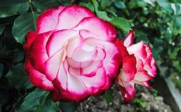 Rosa und weiße Rosen Lizenzfreie Stockfotos