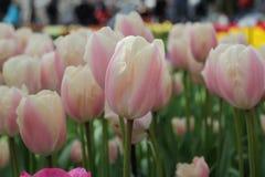 Rosa und weiße Tulpe Lizenzfreies Stockfoto