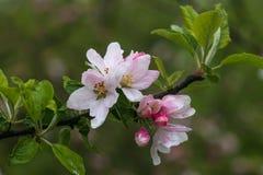 Rosa- und weißeblumen des Obstbaumes auf einer Niederlassung Blühender Apfelbaum auf grünem Hintergrund Paare der Piepm?tze auf d lizenzfreies stockbild