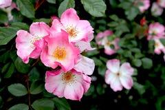 Rosa-und weißeblumen-und Gelbemitten stockbilder