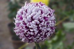 Rosa-und weißedoppelte Farbechrysantheme groß Lizenzfreies Stockbild