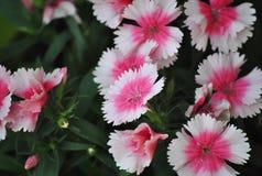 Rosa und weißer Dianthus Stockbilder