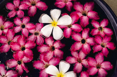 Rosa und weißer Plumeria auf Wasser Stockfotos