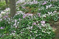 Rosa und weißes Alpenveilchen im Wald Stockfoto