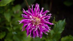Rosa- und weißespitze Blume Stockfotos