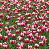 Rosa-und weißetulpen 1 lizenzfreie stockfotos
