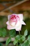 Rosa- und Weißrose stockfotografie