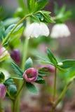Rosa- und weißer Hellebore-Blumen stockfotografie