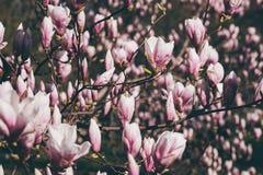 Rosa Untertassenmagnolienblüten lizenzfreies stockbild