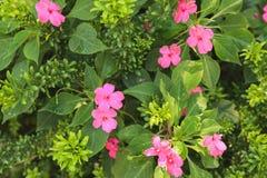 Rosa upptagna Lizzie blommor Fotografering för Bildbyråer
