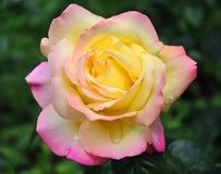Rosa upragnienie Obraz Royalty Free